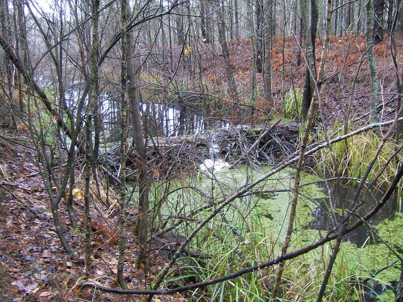 Бобровая плотина на канале