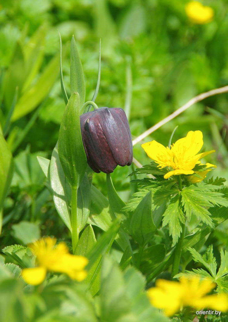 Цветок Сванетии - черный тюльпан, по-научному рябчик шахматовидный